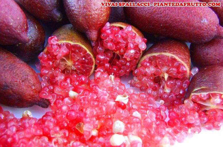 Limone Caviale Rosso
