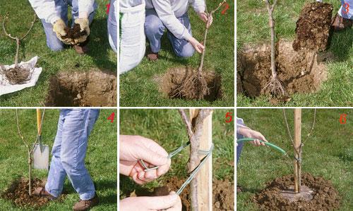 Vendita piante da frutto come piantare un albero da frutto for Quando piantare alberi da frutto