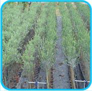 Vendita online piante di oivi alberi di ulivi in vaso for Vendita piante olivi