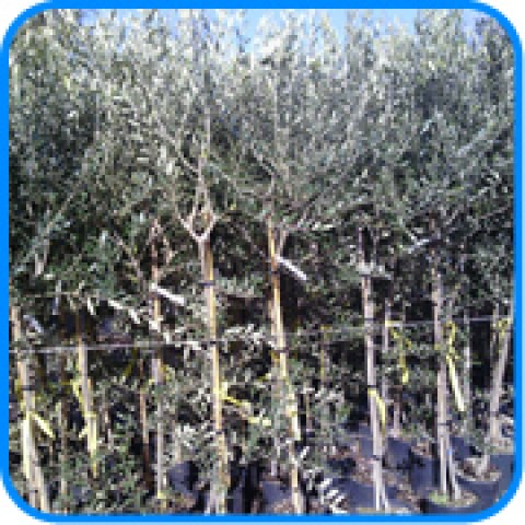 Risultati ricerca for Vendita piante olivi