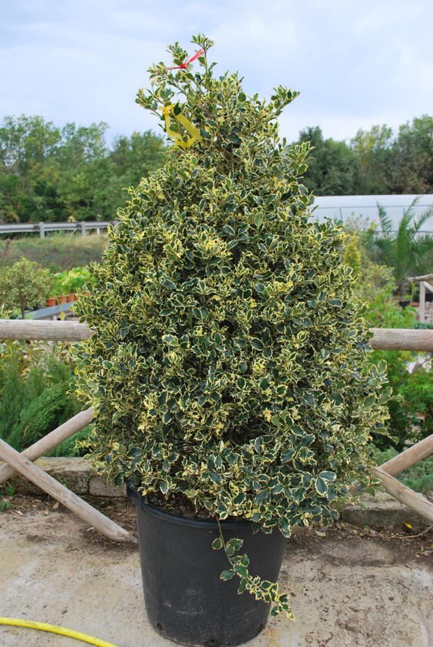 Agrifoglio Piramide H. 1,20 (ilex Aquifolium)