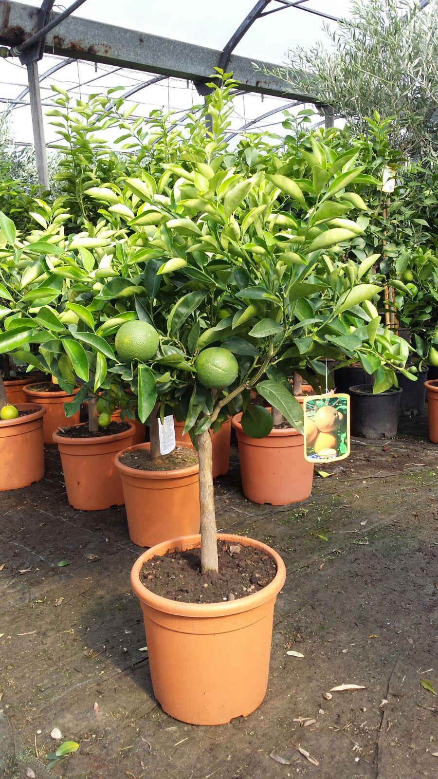 Agrumi arancio nano di 5 anni for Piante di agrumi vendita