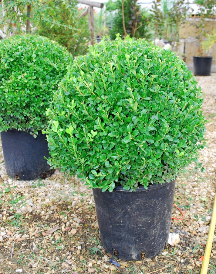 Piante ornamentali bosso a palla for Vendita piante ornamentali