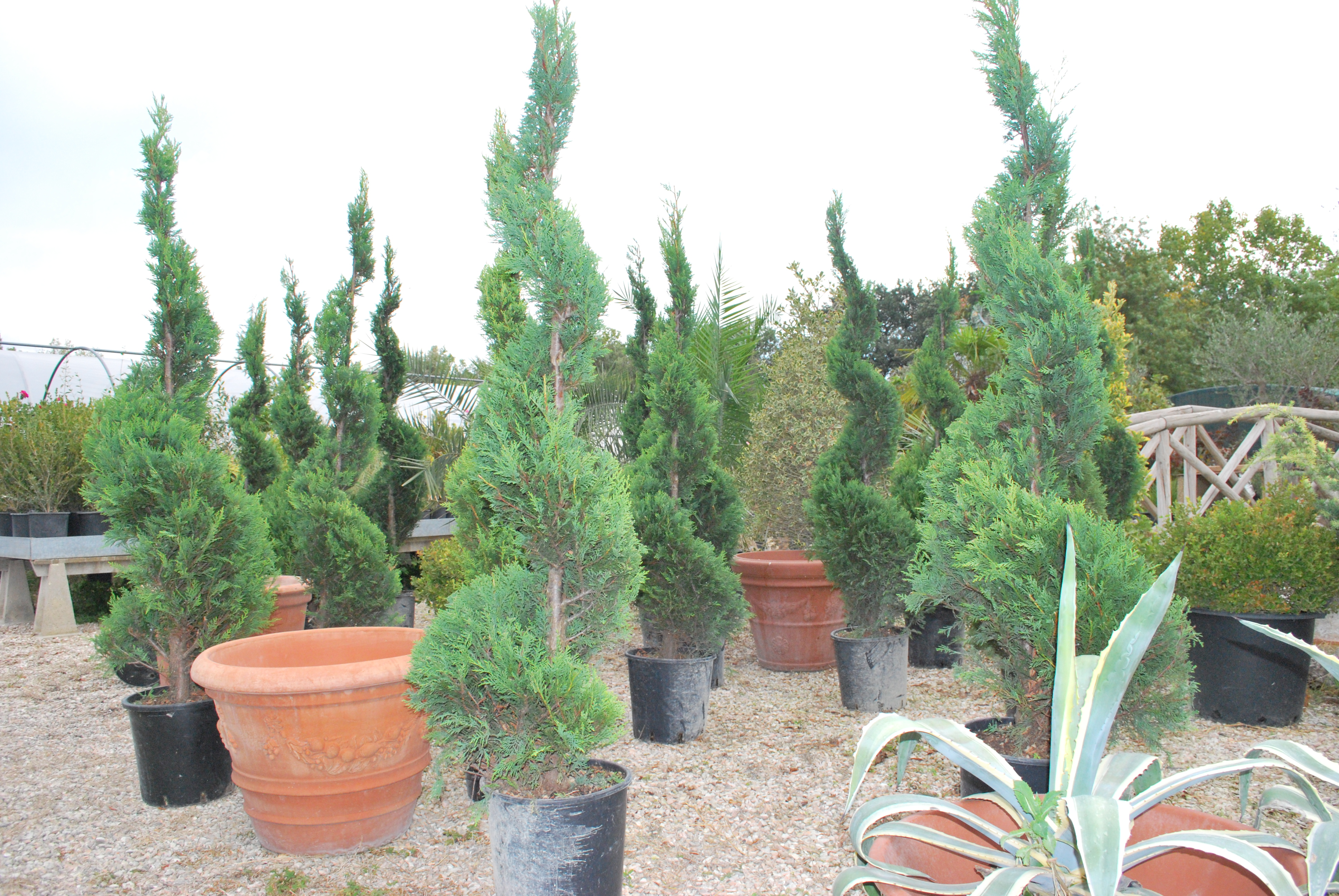 Alberelli Ornamentali Da Giardino piante ornamentali : cipresso forma di spirale