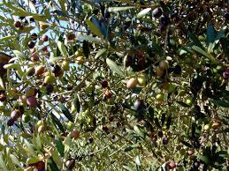 Olivi di 2 5 3 anni olivo ghiacciola resistente al freddo for Vendita piante olivi