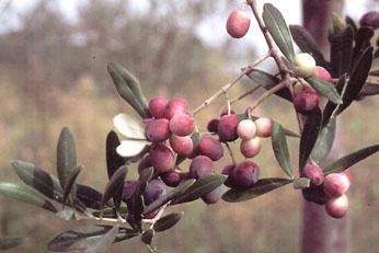 Olivi di 2 5 3 anni olivo rosciola for Vendita piante olivi