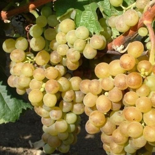 Viti in vaso uva da tavola ecologica bianca - Piante uva da tavola ...