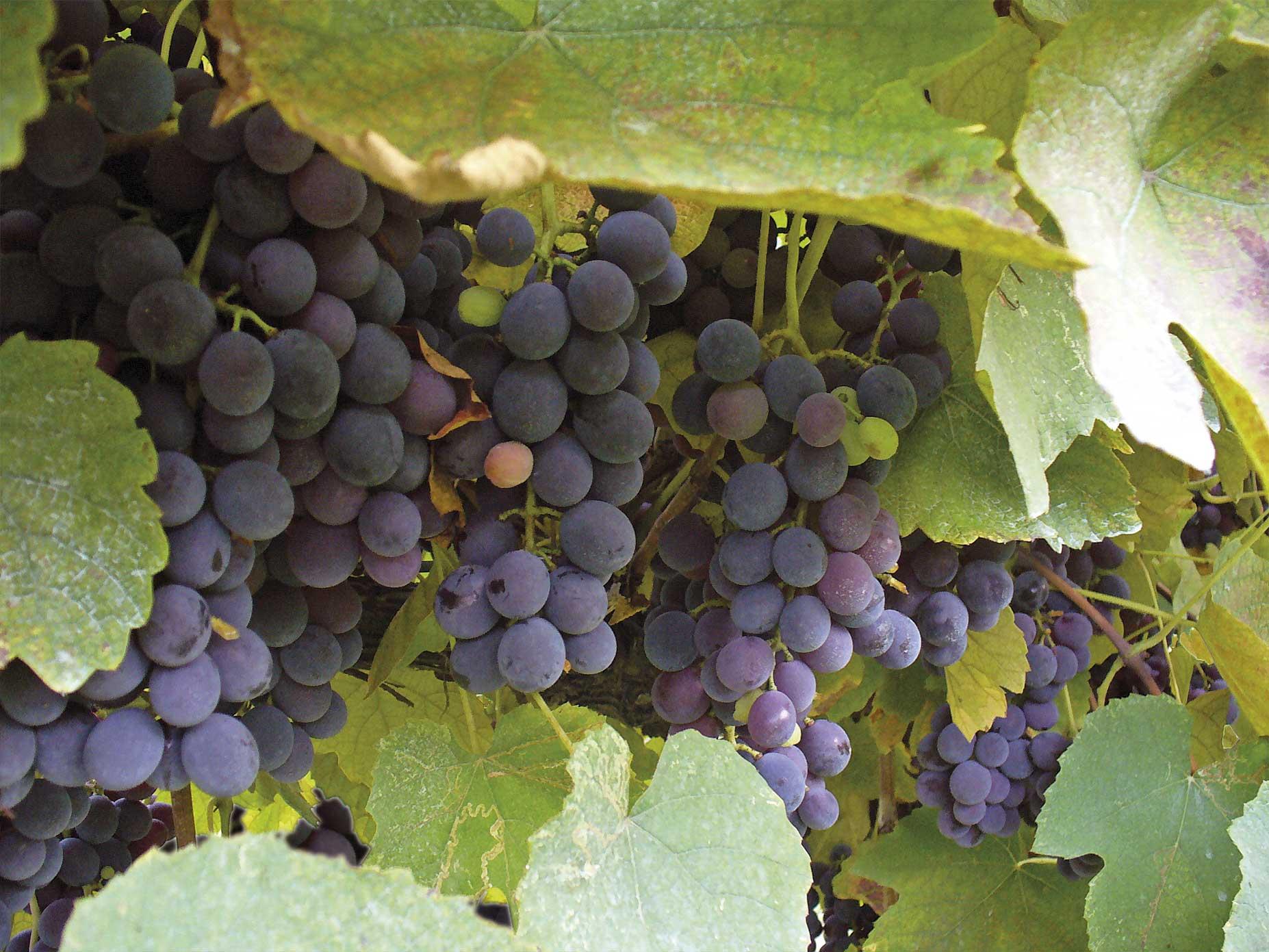 Viti in vaso uva da tavola ecologica nera - Piante uva da tavola ...