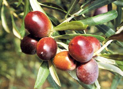 Olivi di 2 5 3 anni olivo carolea for Vendita piante olivi