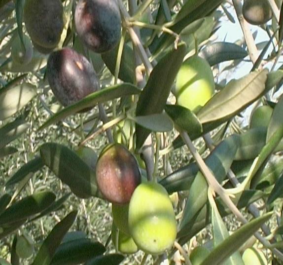 Olivi di 2 5 3 anni olivo maurino for Vendita piante olivi