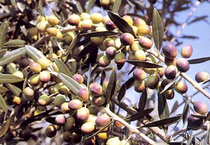 Olivi di 2 5 3 anni olivo moraiolo for Vendita piante olivi