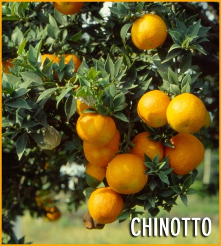 Chinotto_541e8e0aed3bb.jpg