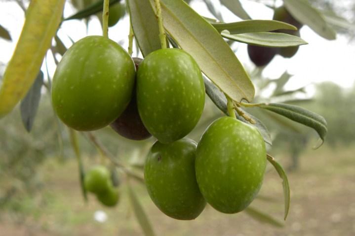Vendita online piante di olivi di 2 5 anni alberi di for Piante da frutto che resistono al freddo