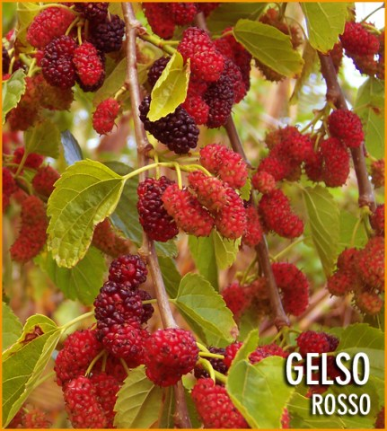 gelso_rosso_54115c15aafd3.jpg