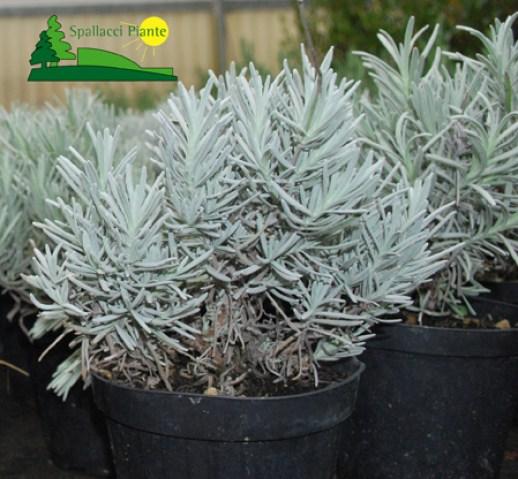 Vendita online piante ornamentali siepi fiori e cespugli for Vendita piante ornamentali