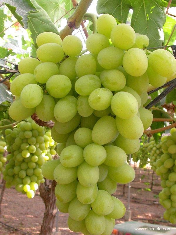 Viti in vaso uva sugraone - Uva da tavola precoce ...
