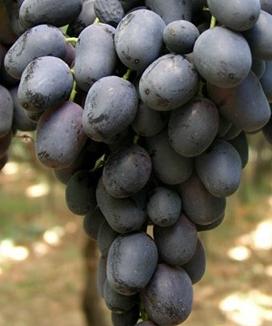 Viti in vaso vite da tavola black pearl - Potatura vite uva da tavola ...