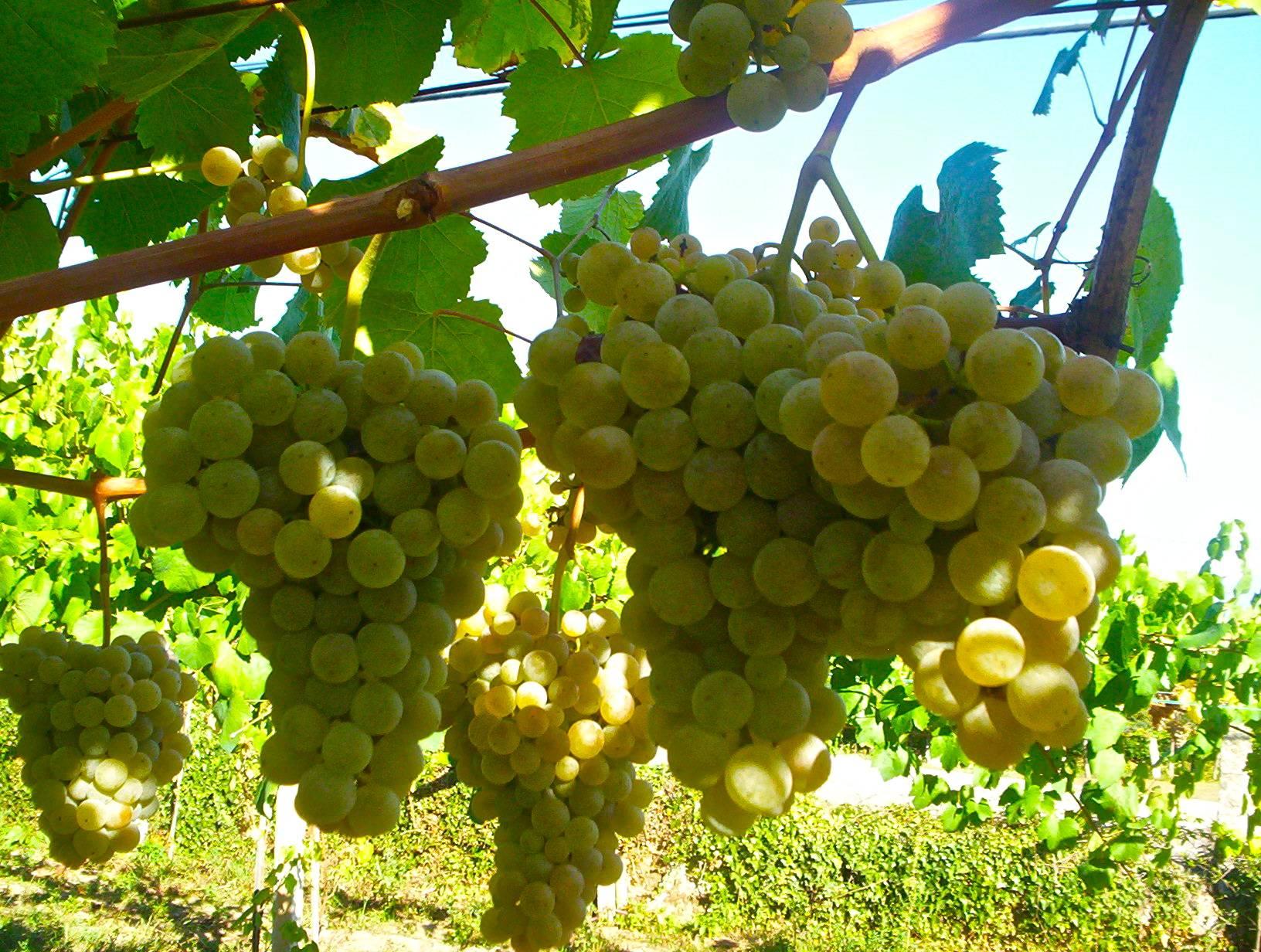 Viti in vaso vite da tavola francese bianca - Potatura vite uva da tavola ...