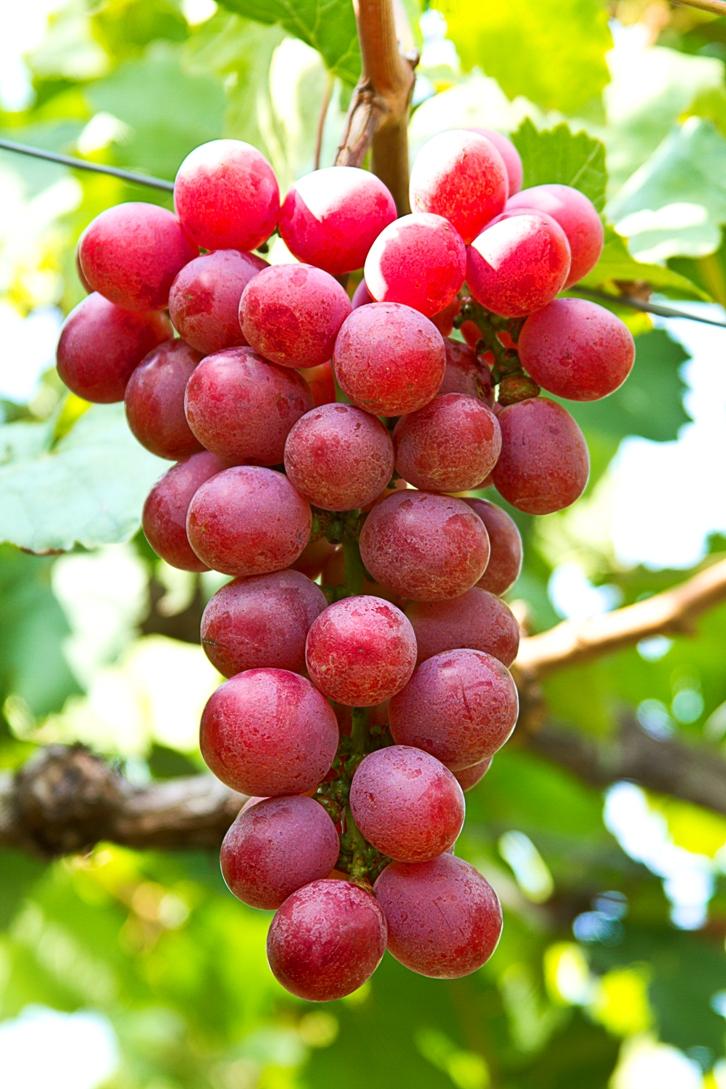 Viti in vaso vite da tavola red globe - Piante uva da tavola ...