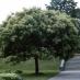 Albero del Miele grande (Evodia Tetradium Daniellli)