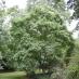 Albero del Miele piccolo (Evodia Tetradium Daniellli)