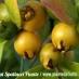 Guava gialla (Psidium cattleianum Lucidum)
