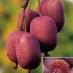 Kiwi Rosso Ken's Red (Actinidia Arguta)