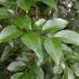 Ligustro (ligustrum japonica)