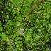 Liquirizia GLYCYRRHIZA  GLABRA h. 1,00 mt.