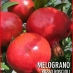 Melograno Rosso Roscioli cespuglio