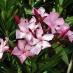 Oleandro rosa (Nerium oleander)
