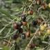 Olivo mignola