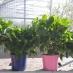 Ortensia (Hydrangea L.) Azzurro