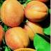 albicocca bulida