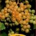 fragola bianca (isabella)