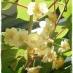 kiwi Giallo Jinfeng impollinatore
