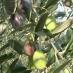 olivo maurino