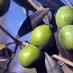 Olivo nocellara