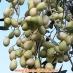 Olivo Leucocarpa, olive bianche