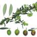 olivo picholine