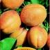 albicocca palummella