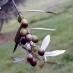 Olivo piantone di mogliano